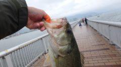 琵琶湖バス釣り2018年GWの陣!ヘビキャロで連発するの巻(後編)